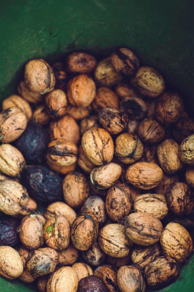 Noix fraîche sous forme de coque juste après la récolte